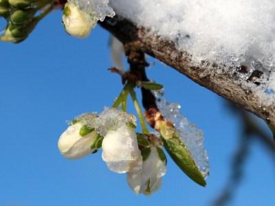tavaszi fagy