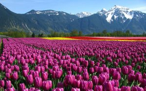 flowers-wallpapers-tulip-garden-wallpaper-wallpaper-36465