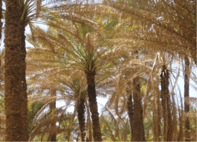 heavily-infested-date-palm-by-dubas-in-hadramout