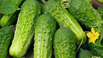 Photo of فيروس موزاييك الخيار Cucumber mosaic virus ( Cm)