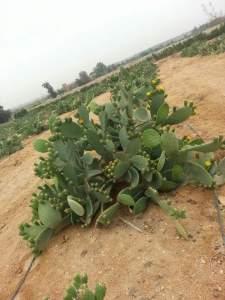 زراعة التين الشوكي
