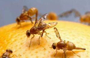 الحشرة الكاملة لذبابة الفاكهة