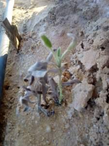 الملوحة احد اهم اسباب اعفان الجذور المتسببه في ذبول الشتلات بعد الزراعة