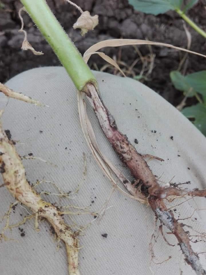 اعفان الجذور .. أنواعها ومحاذير انتشارها وافضل مبيداتها ( ملف شامل )