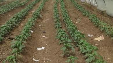 Photo of الري في درجات الحرارة المرتفعة .. انتحار تحت أقواس الزراعات المحمية