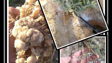 Photo of أمراض التربة والمجموع الجذري .. مشكلات متعددة في وقت واحد .. بأيها تبدأ في العلاج ؟