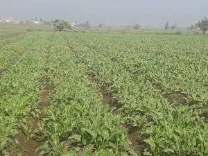 كثافة الزراعة في بنجر السكر