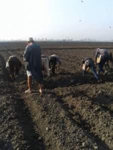 زراعة بنجر السكر