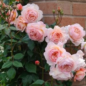 زراعة الورد الجوري بالصور