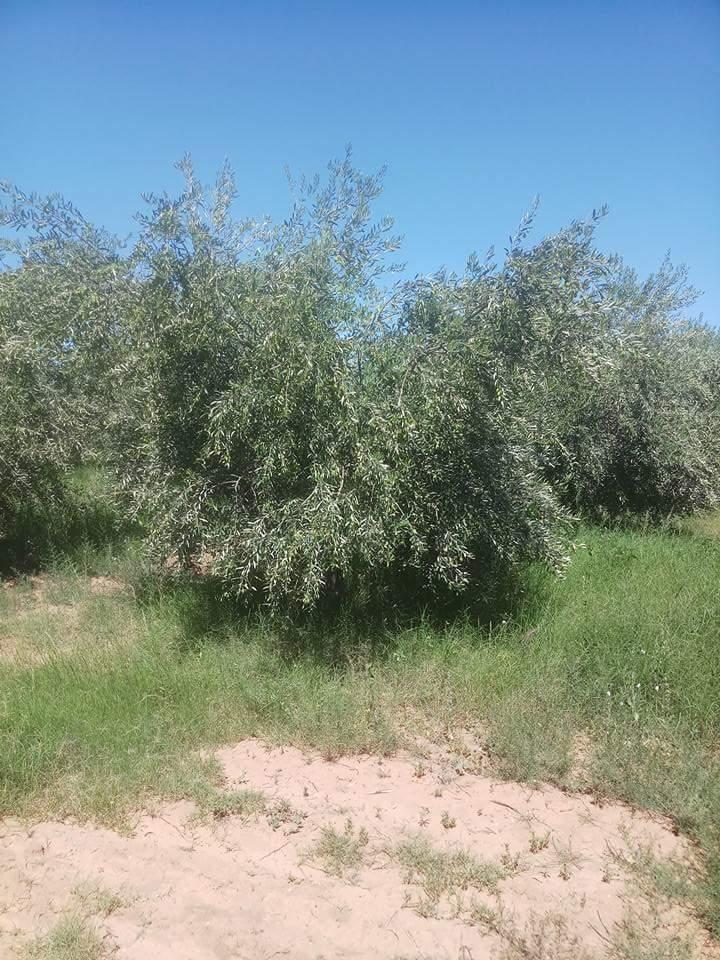 متوسط انتاج فدان الزيتون فى مصر وحساب ارباح زراعة الزيتون