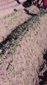 زراعة البصل في الاراضى الصحراوية