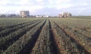 مصاطب زراعة البصل