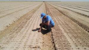 زراعة الثوم تحت البيفوت في مزارع دالتكس بمصر