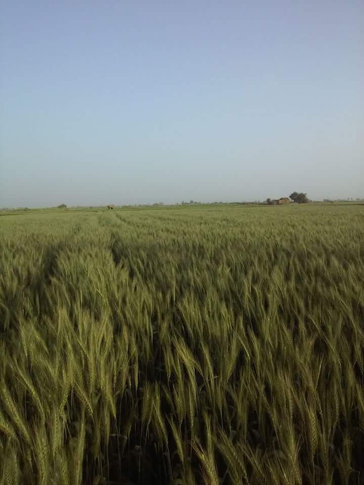 زراعة القمح فى الاراضى الصحراوية