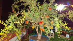 زراعة الرمان في براميل
