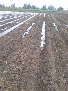 تختلف كمية التقاوي بإختلاف طريقة الزراعة ونوع التربة