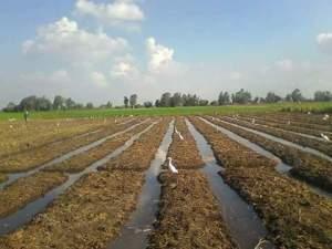 زراعة القمح علي مصاطب في سوهاج