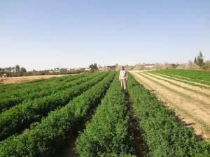 زراعة البرسيم علي مصاطب