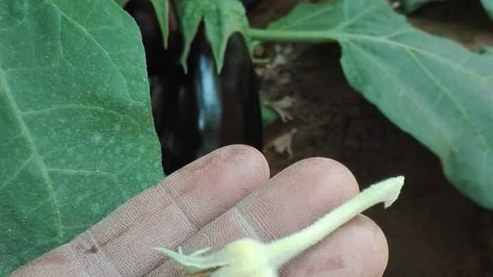 البياض الدقيقي من مسببات تساقط الازهار
