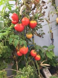 نضج طماطم زراعة منزلية
