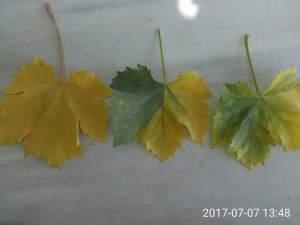 ارتفاع درجات الحرارة في الصيف يؤدي الي اصفرار اوراق العنب