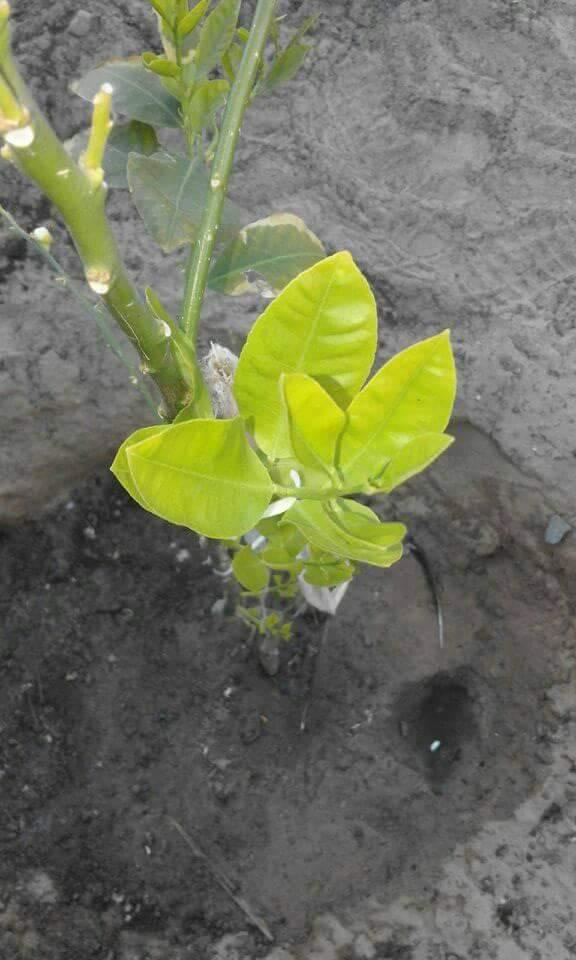 علاج اصفرار اوراق شجرة الليمون .. مع أسبابه