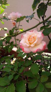 زراعة الورد البلدى فى الاصص