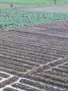مواعيد زراعة البصل فى مصر
