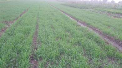 Photo of مراحل نمو نبات القمح .. وعلاقة ذلك بالتسميد والخدمة