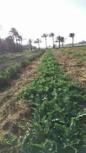 زراعة البطيخ فى الاراضى الصحراوية