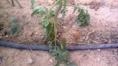 Photo of اسباب ذبول الشتلات بعد زراعتها مع طرق الوقاية والعلاج