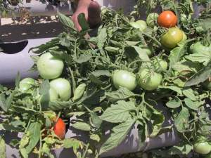 زراعة الطماطم فوق اسطح المنازل