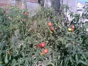 زراعة الطماطم على اسطح المنازل