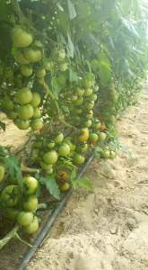 زراعة الطماطم فى البيوت البلاستيكية