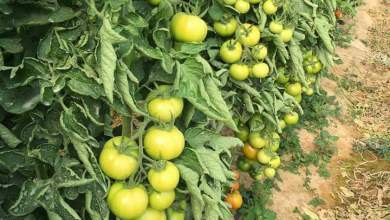 Photo of زراعة الطماطم في البيوت البلاستيكية .. الخدمة والرعاية
