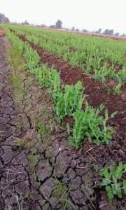 لضمان نجاح زراعة البسلة نحتاج الي ري حامي وعدم تغريق