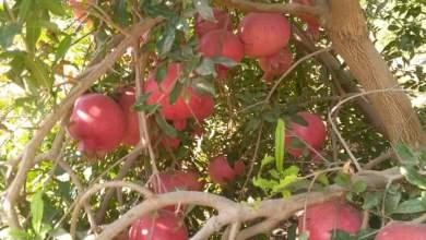 Photo of تعرف علي  كمية انتاج شجرة الرمان .. مع حساب متوسط إنتاجبة الفدان