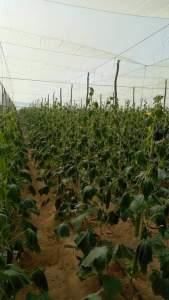 تأثير الصقيع علي النباتات