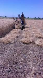 حصاد القمح في مصر بالطريقة الآلية