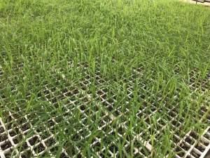 زراعة البونيكام في صواني