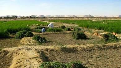 """Photo of برنامج تسميد البرسيم الحجازي """"المعدلات والمواعيد"""""""