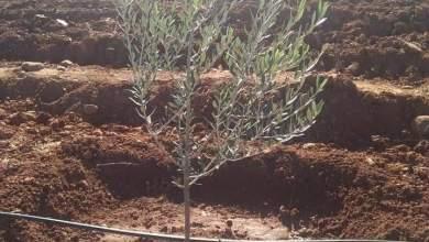 Photo of مواعيد زراعة الزيتون فى مصر