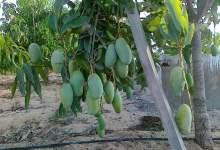 "Photo of زراعة المانجو وبرنامج الرعاية المتكاملة ""ملف شامل ومتجدد"""