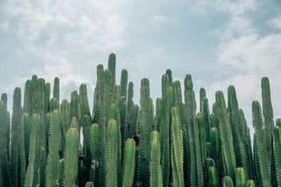صبار سان بيدرو San Pedro Cactus (Echinopsis Pachanoi)