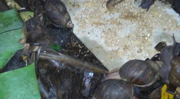 snail feeding