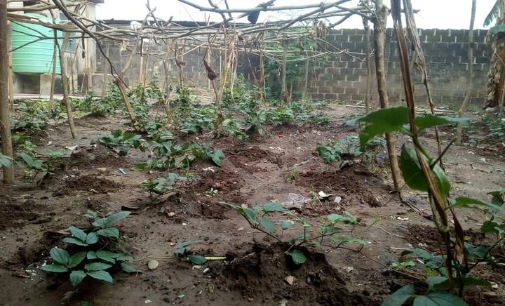 Ugu farming in Nigeria