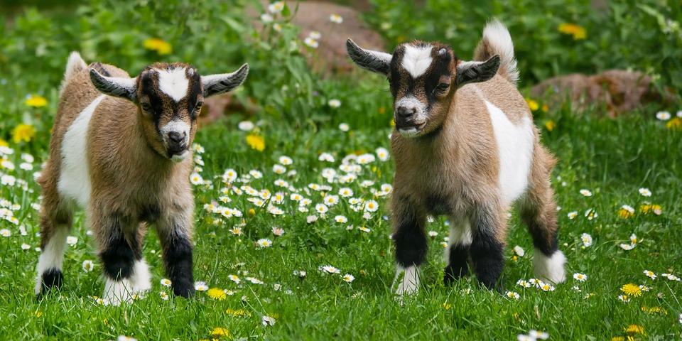 generate income through Goat farming