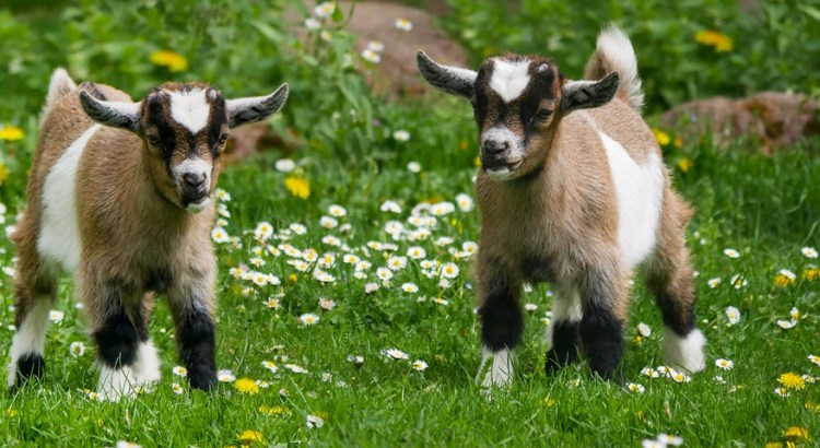 generate income through Goat farming