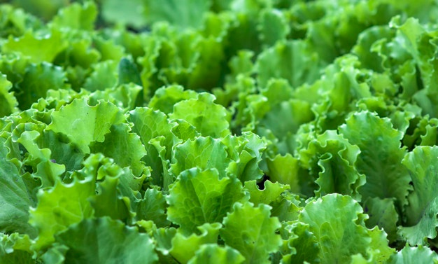 lettuce farming in Nigeria