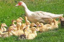 duck farming in Nigeria